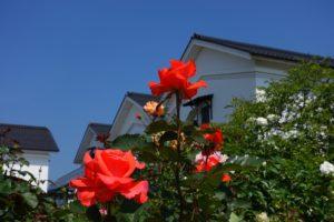 255_ayabe_rose