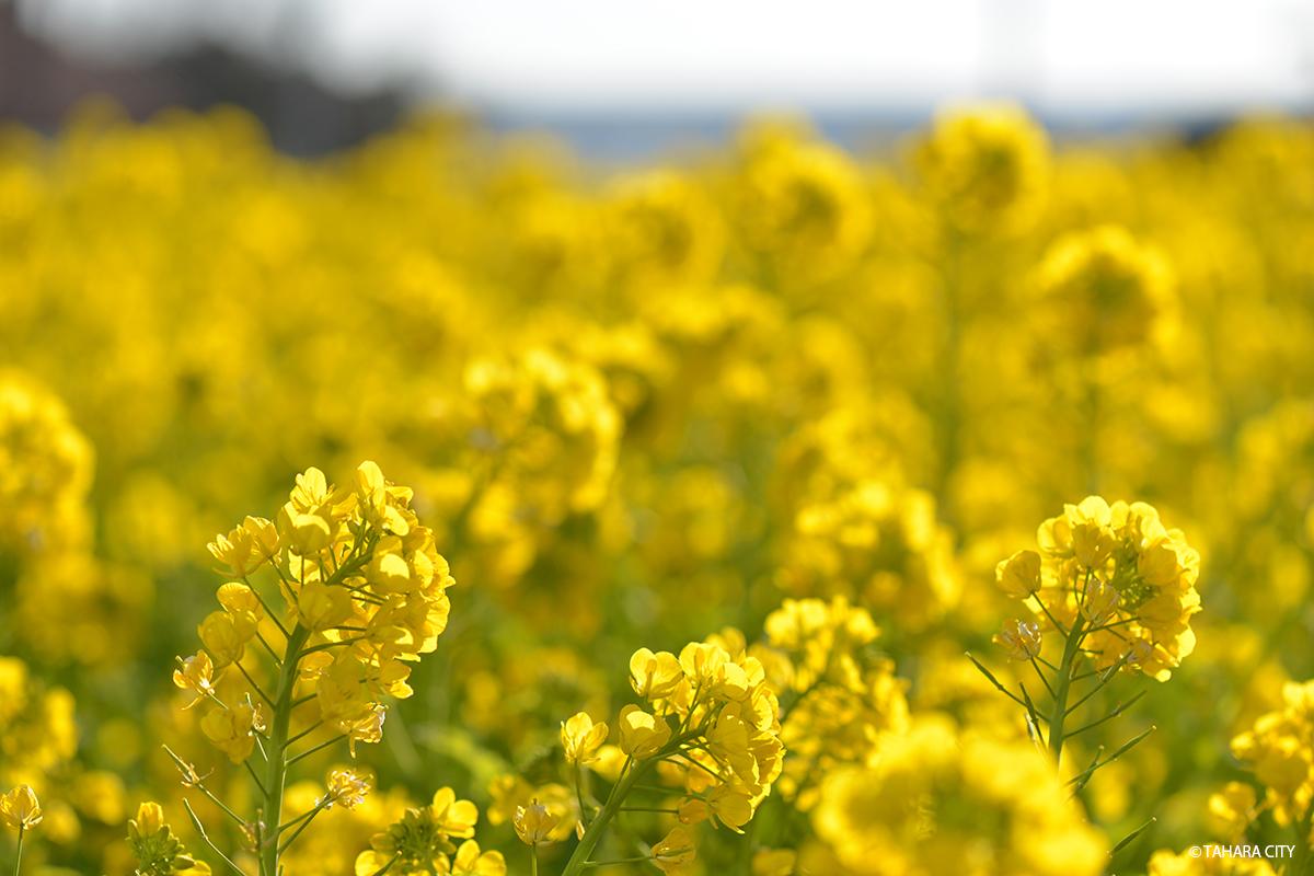 渥美半島に春を告げる「菜の花まつり2020」─終了しました