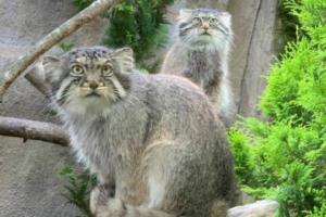 manur_cat