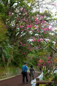 名護さくら祭り/(c)沖縄観光コンベンションビューロー